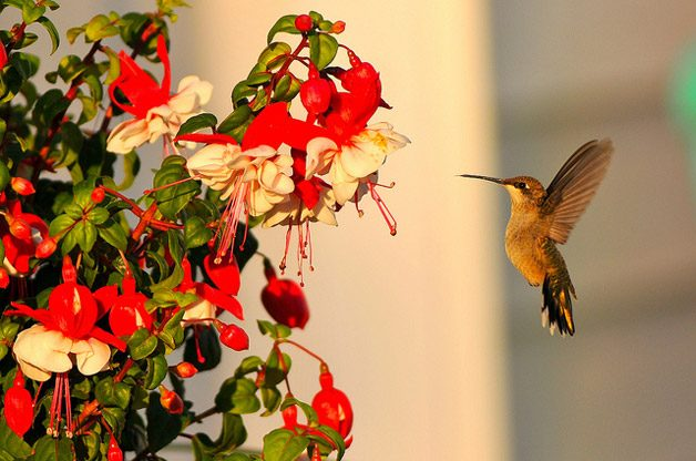 Gardening with Nectar Flowers to Attract Hummingbirds