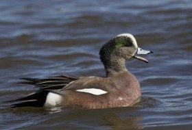 I photographed this American Wigeon while on the East Coast observing duck species.
