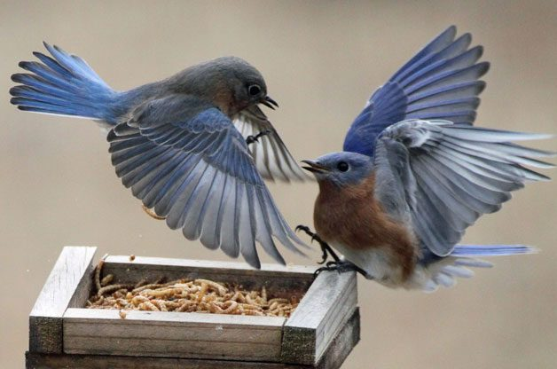 Feeding Bluebirds with Mealworms