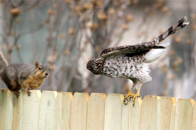 Friday Funny Photography: Squirrel and Hawk