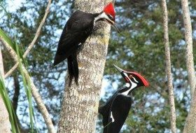 Friday Funny Photography: Pileated Woodpecker and Plywood Pal
