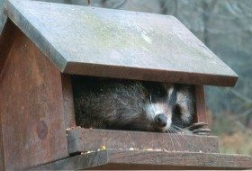 Friday Funny Photography: Raccoon in Birdfeeder