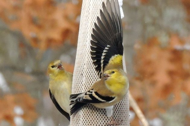 Friday Funny Photography: American Goldfinches