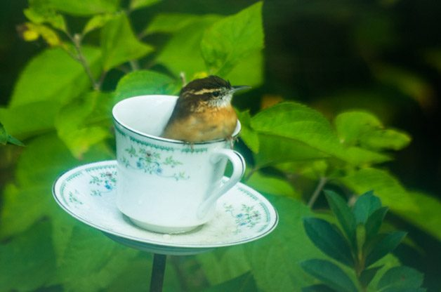 Friday Funny Photography: Cup of Carolina Wren