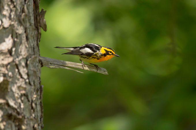 blackburnian warbler, warbler migration
