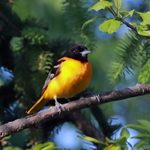 How to Identify Baltimore Oriole Birds