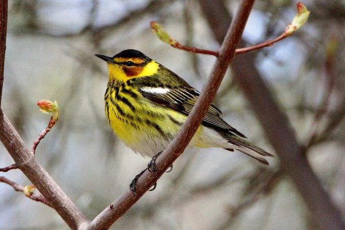 cape may warbler, warbler migration