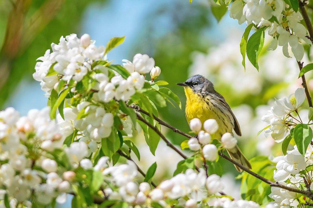 kirtlands warbler, warbler migration
