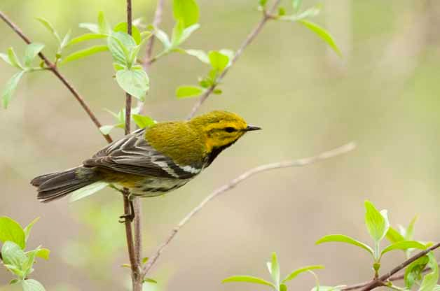 Black-throated Green Warblers can also be seen throughout the east during migration.