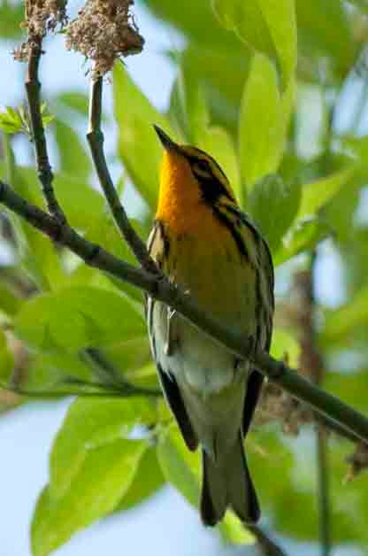 Blackburnian Warblers are one of my favorite warbler species. They can be seen throughout Eastern North America.