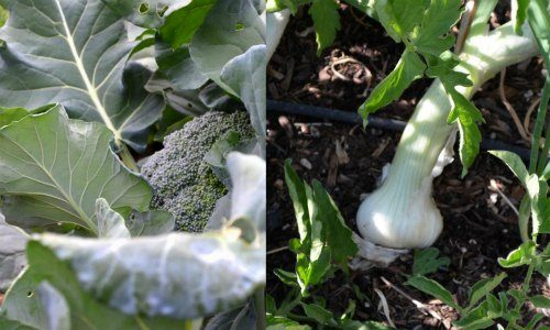 Broccoli and onion make good companion plants
