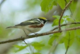 Be sure to take steps to prevent bird species from hitting your windows so that you don't find birds like this Chestnut-sided Warbler dead under your windows.