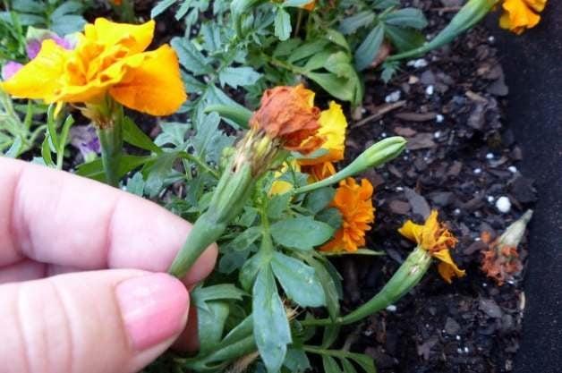 Deadheading Flower Gardens