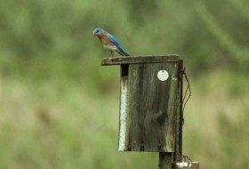 Eastern Bluebirds are known to love using nesting boxes!