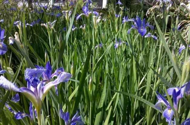 Flag Iris Flower Gardens