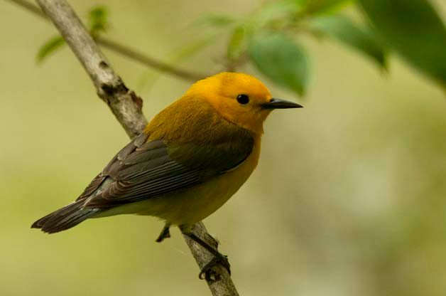 Prothonotary Warblers can be seen at all of the birding hotspots that are mentioned here.