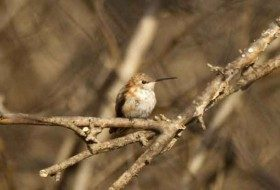 The Rufous Hummingbird is the second most likely hummingbird species to be seen in the east but it's normally a fall visitor.