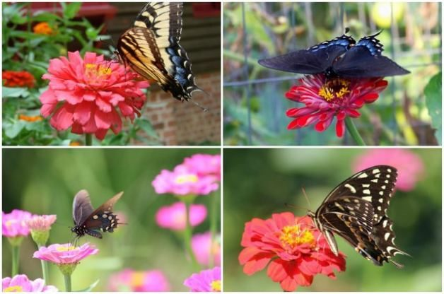 Flowers That Attract Butterflies Zinnias