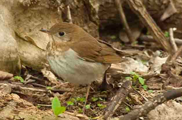 Thrushes, like this Veery, are regularly found by Light Out volunteers.