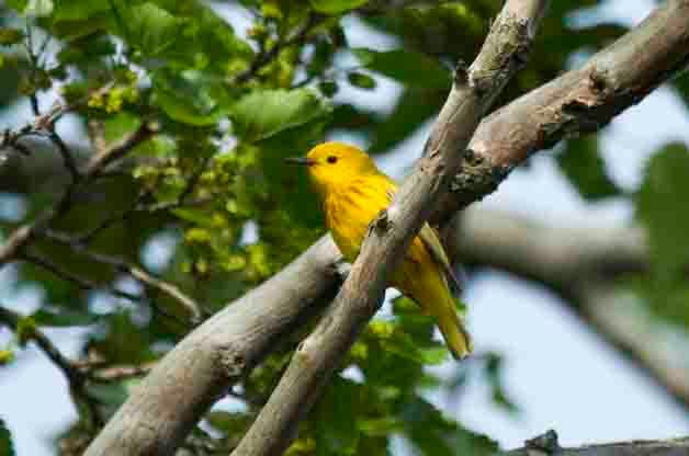 Yellow Warblers not only migrate through the Eastern United States, they also breed across much of the area.