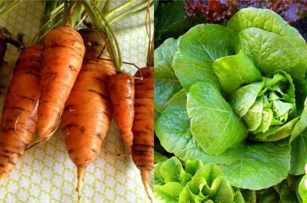 Carrots and lettuce do well when planted together in the vegetable garden.