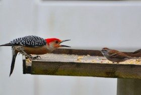 Friday Funny Photography: Red-Bellied Woodpecker and Chipping Sparrow