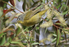 A Nashville warbler from Biggest Week 2013.