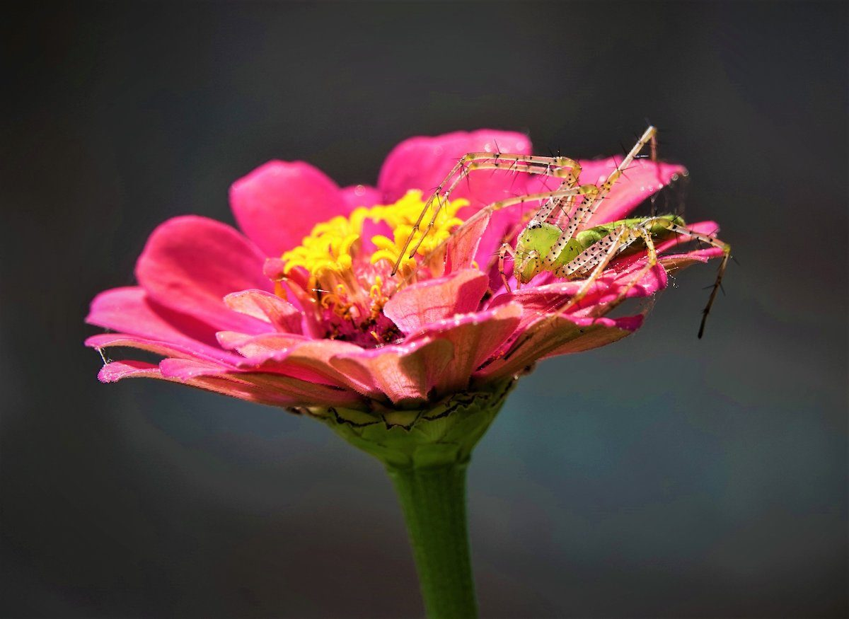Spider on a zinnia bloom