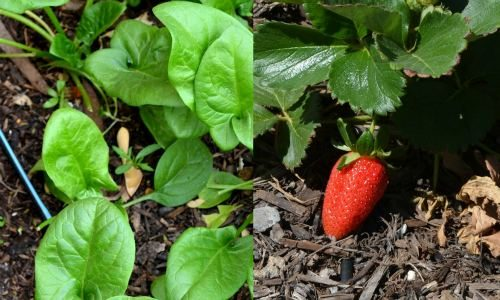 Plant spinach and strawberries together.