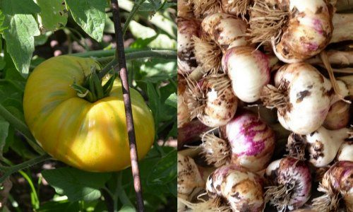 Plant tomatoes with garlic.
