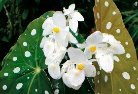 Top 10 Bizarre Plants: Polka dot begonia