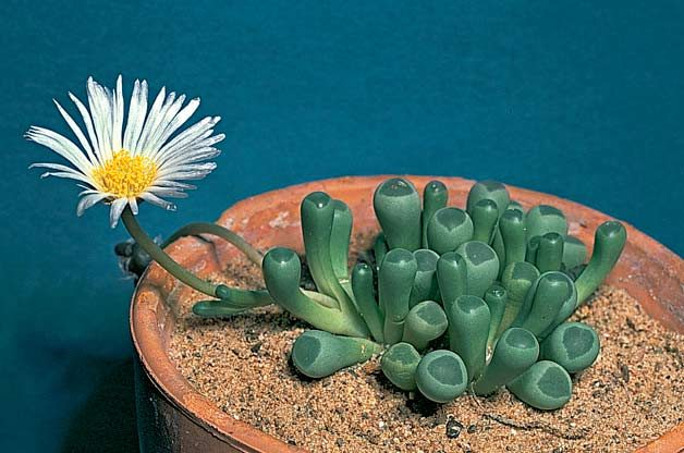 Top 10 Bizarre Plants: Baby toes