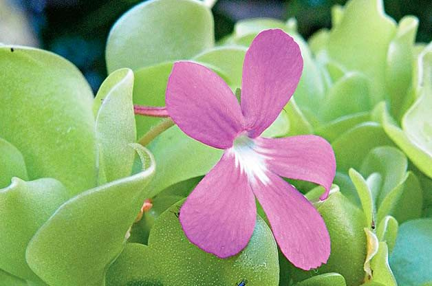 Top 10 Bizarre Plants: Butterwort