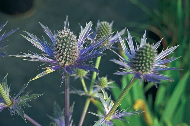 Top 10 Bizarre Plants: Sea holly