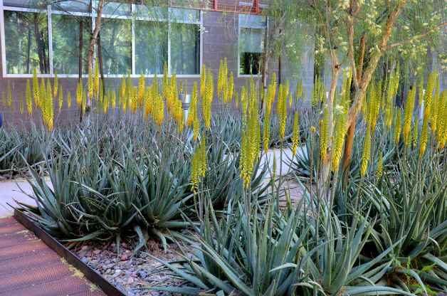 Drought tolerant aloe vera brighten the landscape.