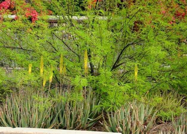 Aloe_Vera_underneath_Mesquite_tree