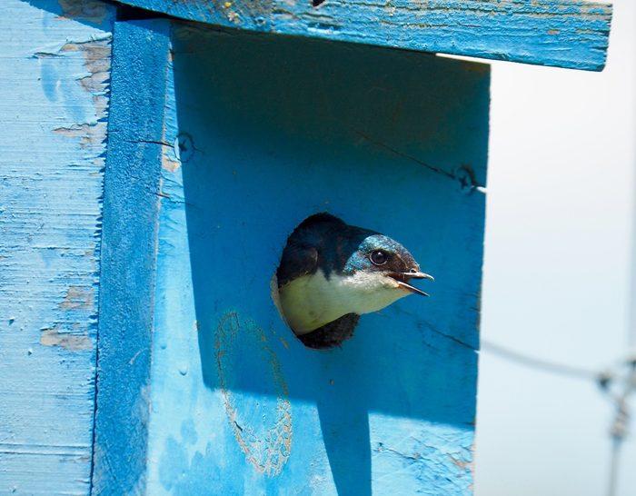 tree swallow in birdhouse, birdhouse hole size chart