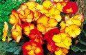 Top 10 Award-Winning Hummingbird Flowers: Pin Up Flame begonia