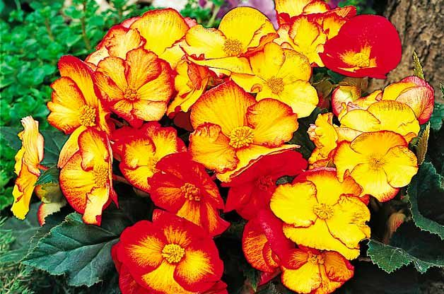 Top 10 Award-Winning Hummingbird Flowers: Pin Up Flame begonia