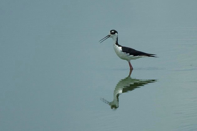 Black-necked Stilts are commonly found during the breeding season at Goose Pond FWA.