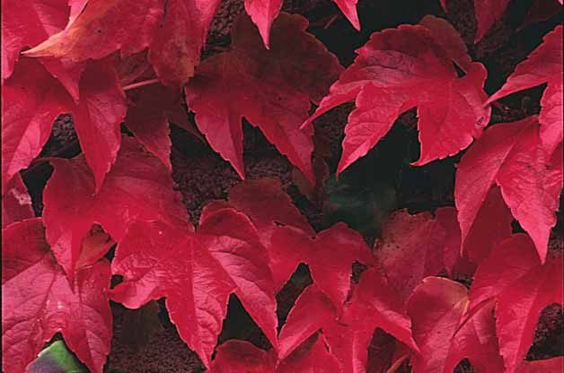 Top 10 Backyard Vines With Fall Flair: Boston ivy