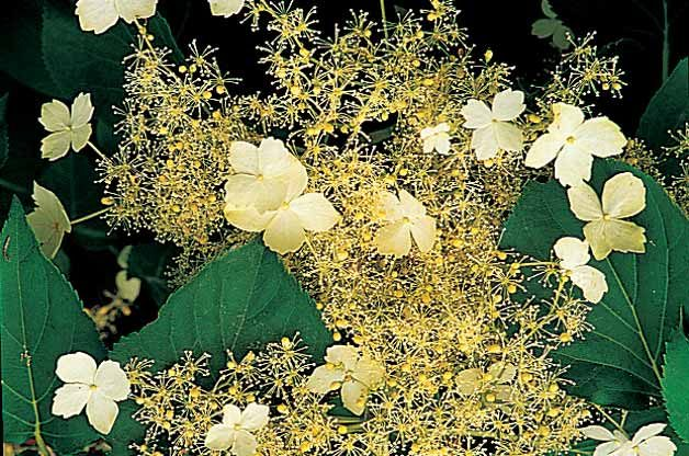 Top 10 Backyard Vines With Fall Flair: Climbing hydrangea