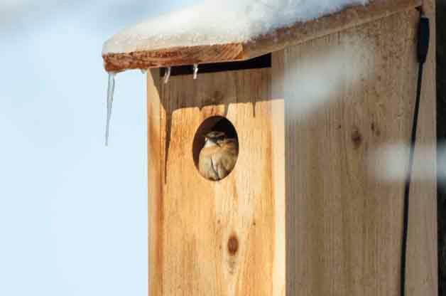 This Carolina Wren is roosting in a birdhouse with a hole that is much larger than it would choose for nesting season.