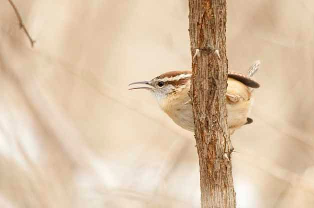 Carolina Wrens are a very exciting species to have nesting in your backyard.