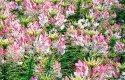 Top 10 Award-Winning Hummingbird Flowers: Sparkler Blush cleome