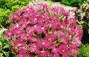 Top 10 Award-Winning Hummingbird Flowers: Supra Purple dianthus