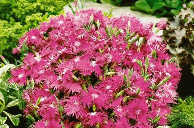 Top 10 Award-Winning Hummingbird Flowers: Supra Purple dianthus