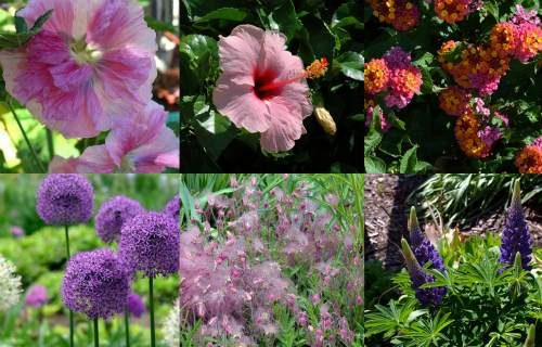 Pink & Purple Flowering Plants