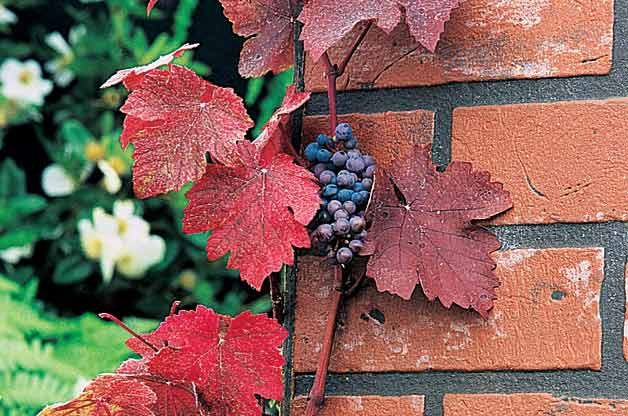 Top 10 Backyard Vines With Fall Flair: Ornamental purple-leaf grape