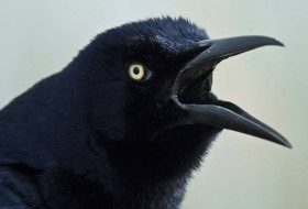 Grackle species, like this Great-tailed Grackle, are considered blackbirds by many backyard birders.